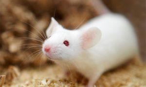 Всего один укол в мозг вылечил мышей от диабета