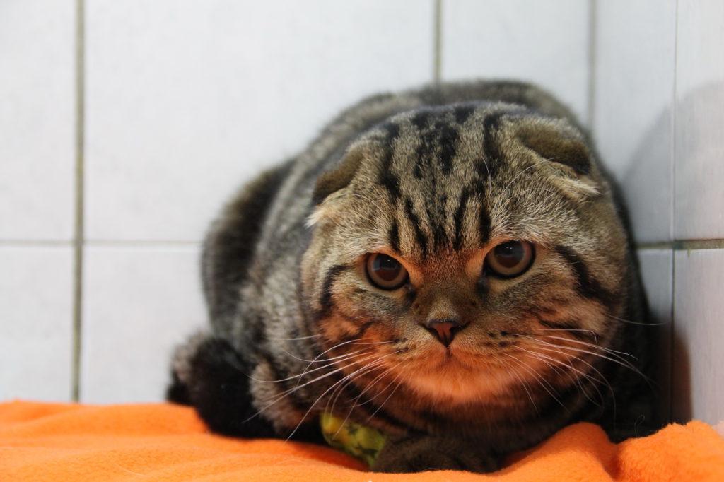 Клиника Био-Вет – лечение гипертиреоза у кошек