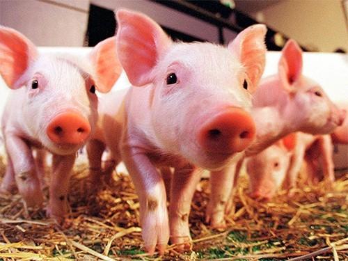 Островковые клетки свиней перед пересадкой людям завернут в защитную оболочку