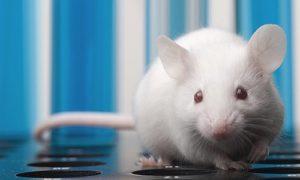 Прогрессирование болезни Хантингтона у мышей удалось остановить на полгода
