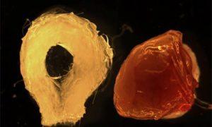 Выращена функционирующая печень из стволовых клеток