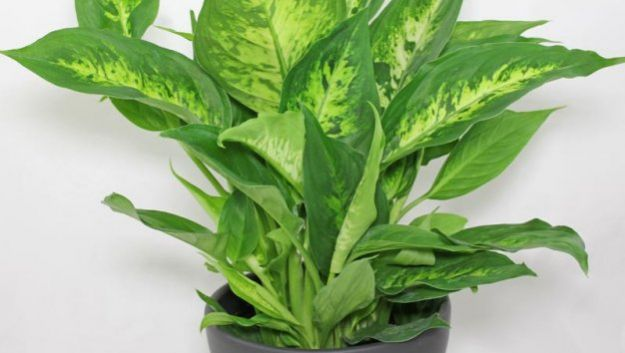 Самые токсичные комнатные растения: топ-3