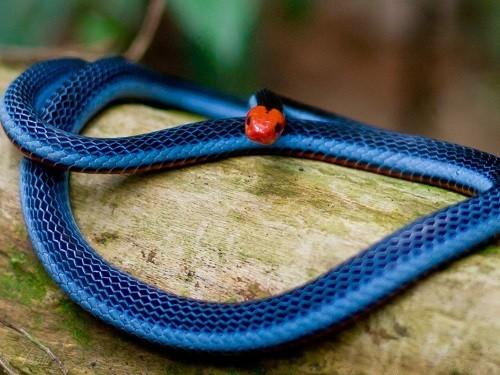 Змеиный яд может войти в состав эффективного обезболивающего