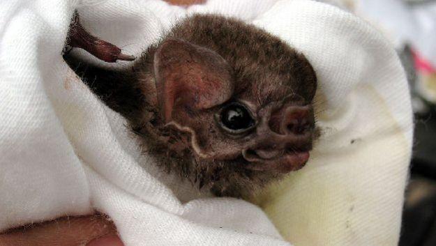 Летучие мыши-вампиры могут нападать на людей