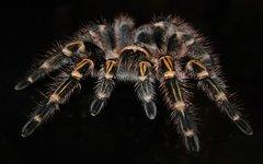 Российские ученые создали новые обезболивающие на основе яда пауков