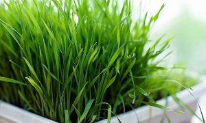 Лимонная трава спасает от рака