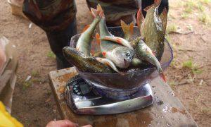 Смоленский рыбак заразился описторхозом