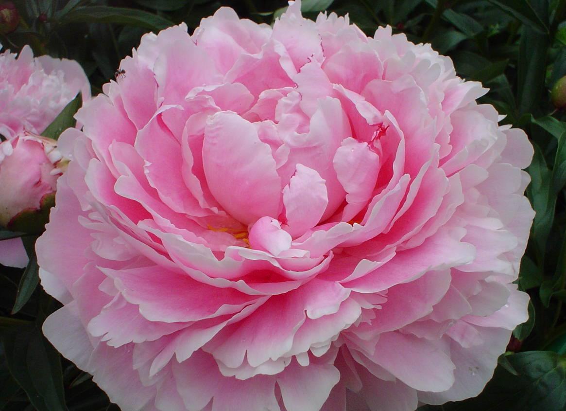 Цветок пиона будет бороться с побочными эффектами от химиотерапии