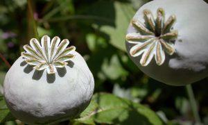 В России может быть разрешено выращивание сырья для опийных анальгетиков