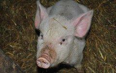 Британские медики будут пересаживать органы свиней младенцам