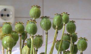 В Глинковском районе сотрудники полиции изъяли более 50 растений мака