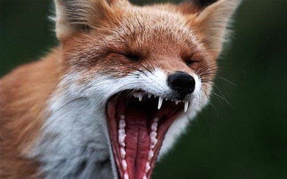 В 15 районах Смоленской области зарегистрированы случаи бешенства у животных