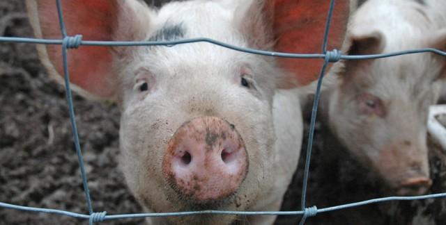 Смоленских фермеров предупреждают о распространении африканской чумы свиней