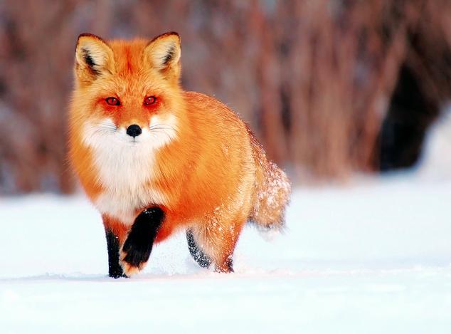По Смоленску бегает лиса, которая может оказаться бешеной