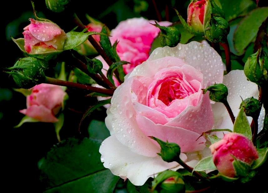 Разделение признаков видов роз