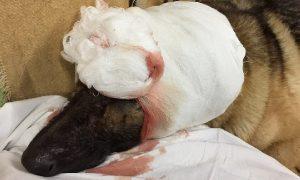 В соцсетях рассказали о судьбе собаки, искалеченной до полусмерти в Смоленске