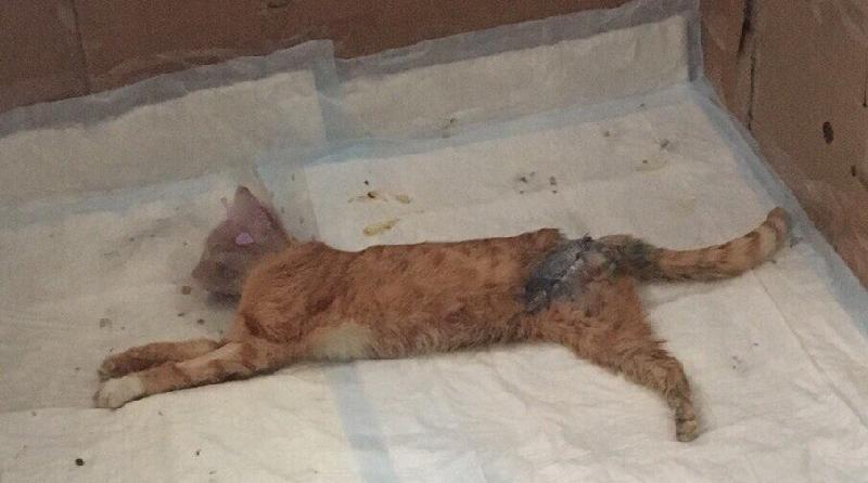 Смолянка борется за жизнь кота, которого едва не разорвали собаки