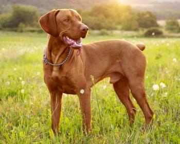 Породы собак: Венгерская выжла