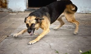 Смоляне жалуются на собак, бросающихся на прохожих