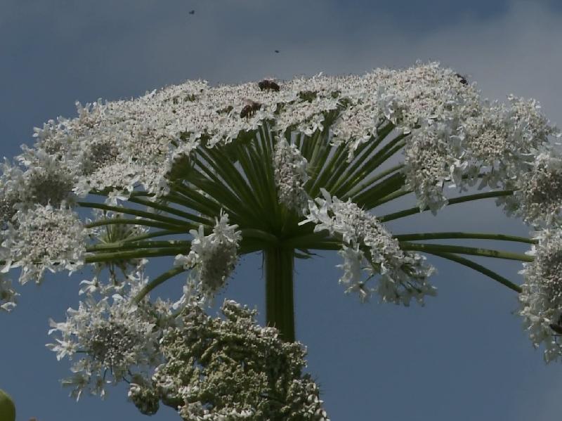 Опасный для людей сорняк растет в Смоленске
