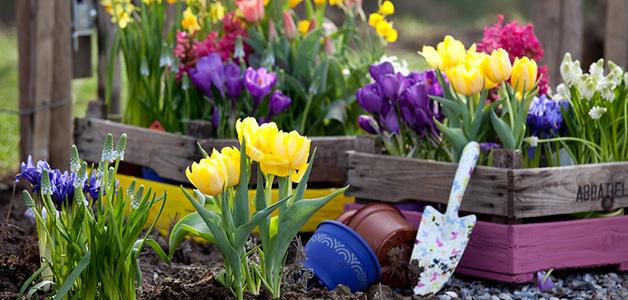 Тюльпаны — выращивание и уход