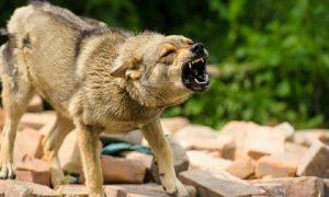 В Смоленской области зарегистрировано 33 факта бешенства животных