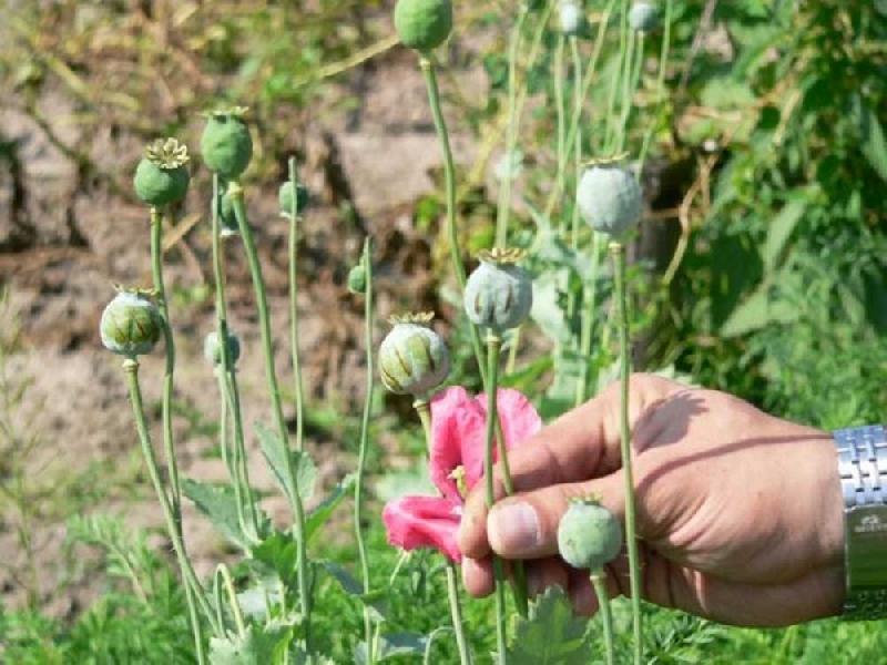 Наркосодержащие растения могут разрешить выращивать в медицинских целях