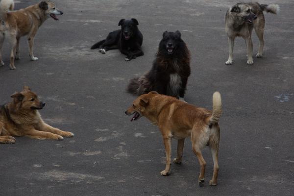 Смоляне жалуются на бездомных собак