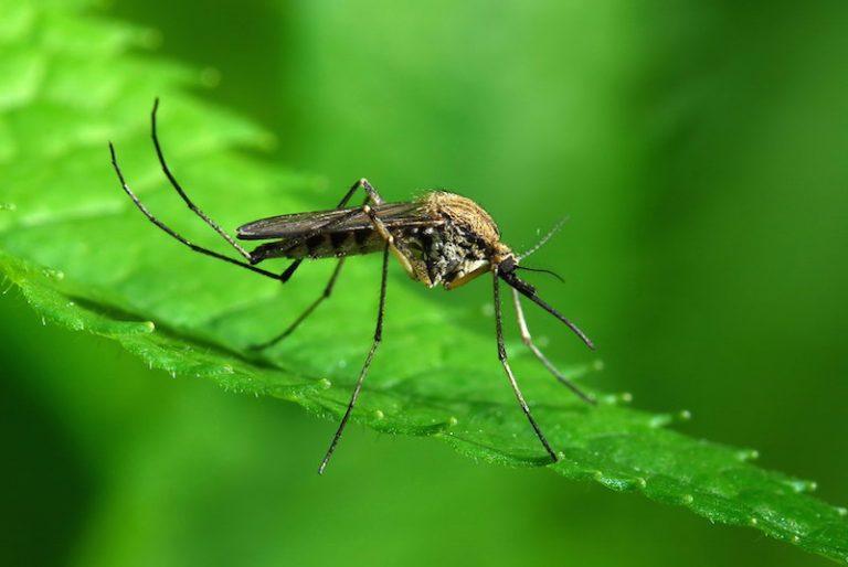 Какую опасность представляют собой обычные комары?