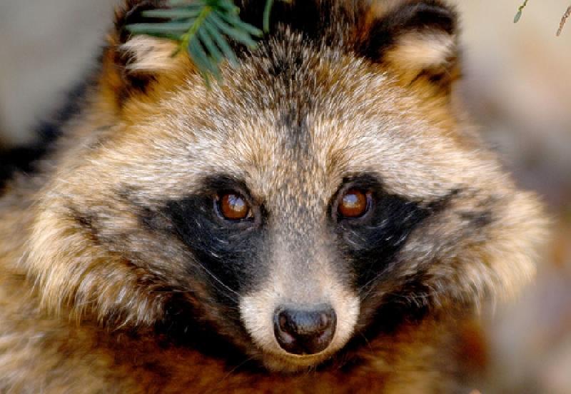 «Енотовидные собаки, лисы, кошки». В каких районах Смоленской области фиксируют случаи бешенства животных