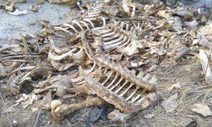 «Исследовали в лаборатории на сибирскую язву». Специалисты Роспотребнадзора и Госветслужбы нашли под Смоленском кости.