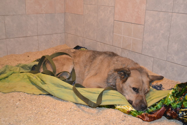 «Нужна ваша помощь». В смоленском приюте спасают собаку, попавшую в капкан