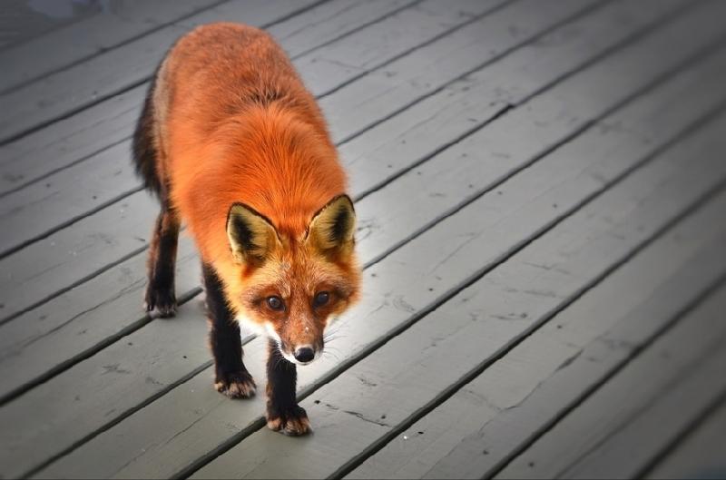 «Ситуация ухудшилась». В каких районах Смоленской области чаще всего фиксируют бешенство у животных
