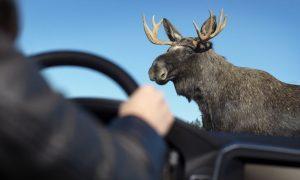 В Смоленской области за год произошло порядка 160 ДТП с участием диких животных
