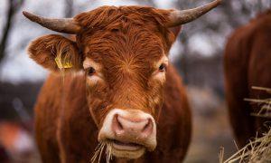 В Смоленской области практически побежден лейкоз у коров