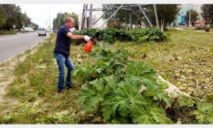 В Смоленске активизировали борьбу с борщевиком
