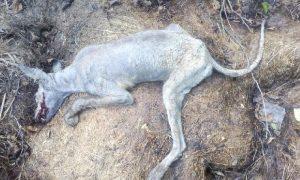 В Смоленской области убили «чупакабру»?