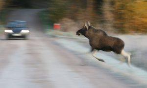 В Смоленской области автолюбитель из-за лося не уберег пассажира