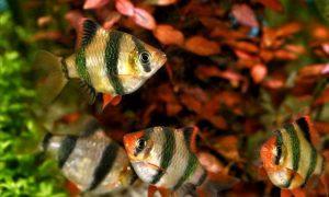 Как содержать декоративных рыб