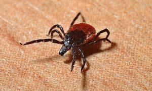 В Смоленской области четыре человека пострадали от укусов клещей