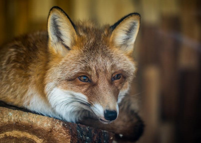 В Смоленской области выявили 31 случай бешенства животных