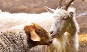 В Смоленской области сняли карантин по оспе овец