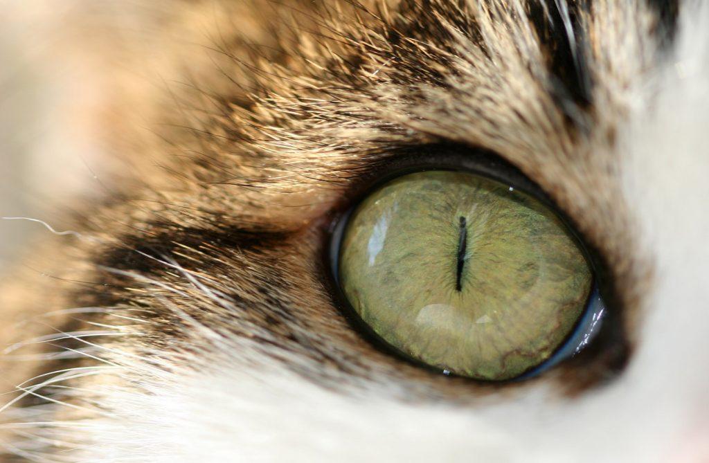 Слезящиеся глаза у котов: причины и лечение