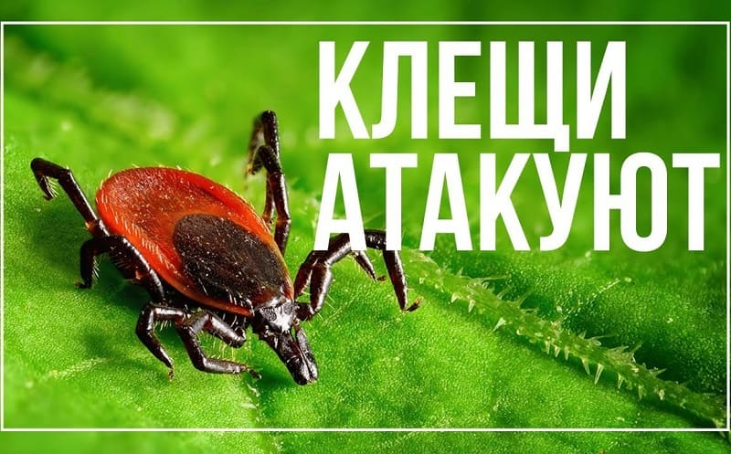 В Смоленской области с начала года клещи покусали почти 700 человек